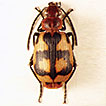 Two new Lebistina Motschulsky, 1864 species ...