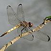 The dragonflies and damselflies (Odonata) ...
