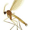 A remarkable new genus of Keroplatidae ...