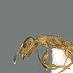 Review of the ant genus Nesomyrmex Wheeler, ...