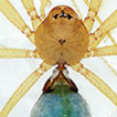 A new species of the spider genus Cangoderces ...