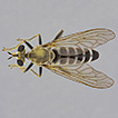 A review of the assassin-fly genus Laphyctis ...