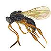 The family Ismaridae Thomson (Hymenoptera, ...