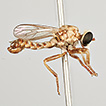 Taxonomic revision of the assassin-fly ...