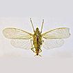 A new dictyopharid genus Neonersia gen. ...