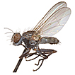 A curious new Coenosia Meigen, 1826 (Diptera, ...