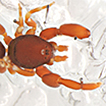 Two new species of Diaphorocellus Simon, ...