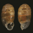 Type specimens of Streptaxidae from Henry ...