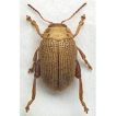 Taxonomic revision of the Calotheca parvula ...