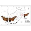 The cicada genus Tugelana Distant, 1912 ...